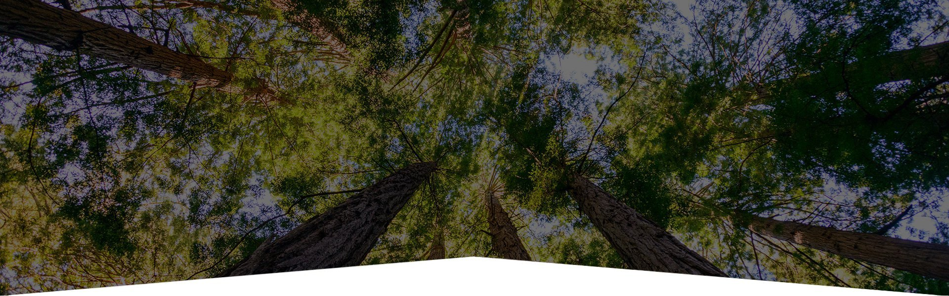 Looking up at tall trees slider