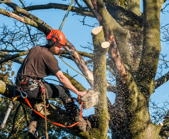 arborist cutting branches off a tree with a chainsaw