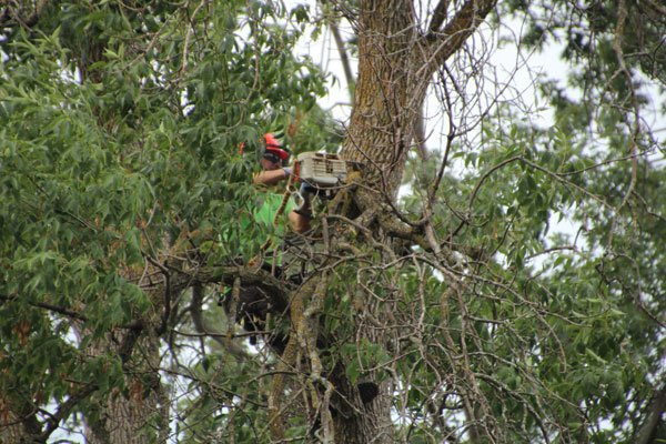 tree removal expert sawing through a tree