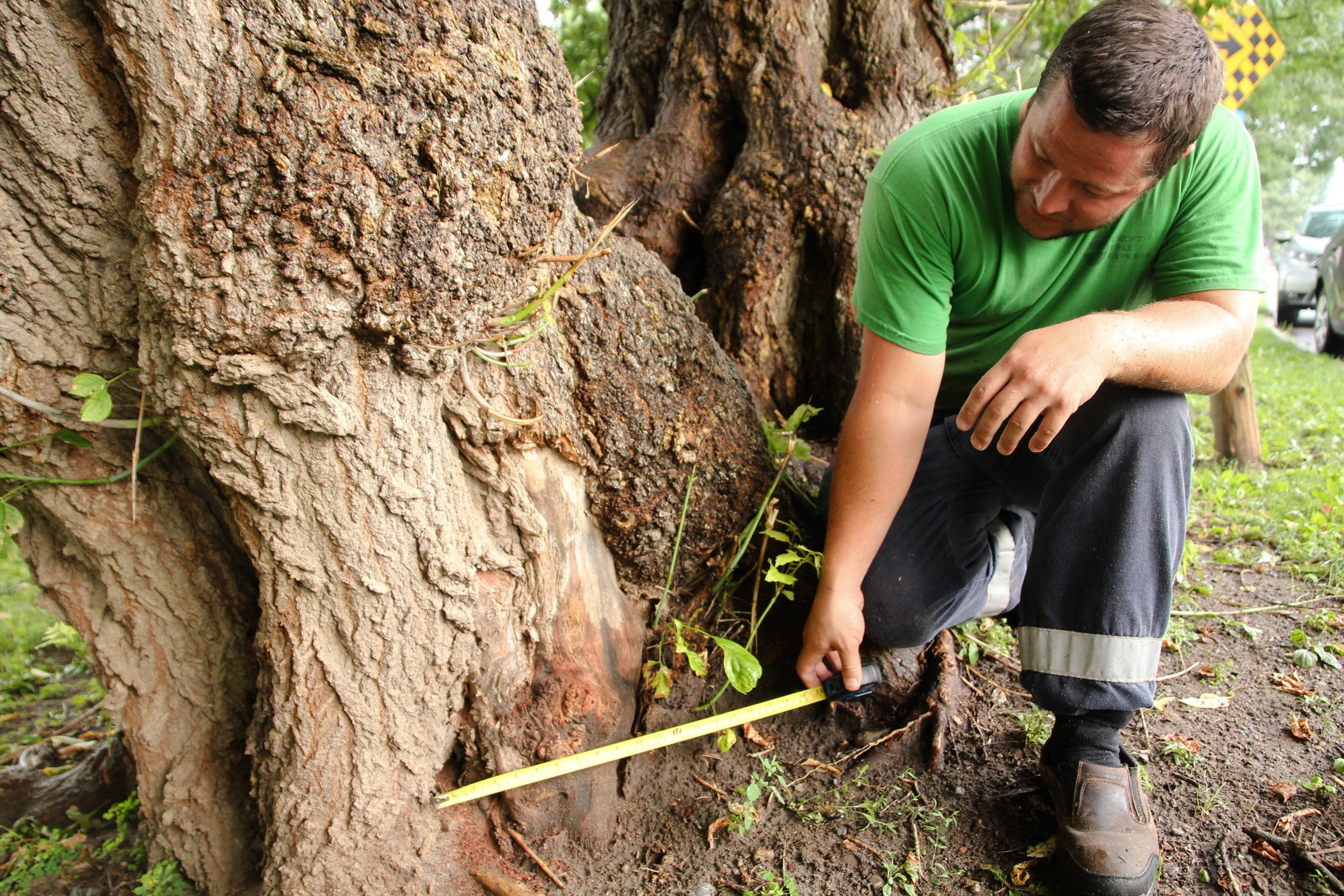 Tree Removal Professional Measuring Base Of Tree For Legal Relmoval