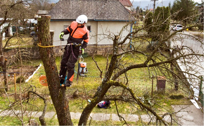 arborist trims dead tree branches