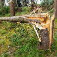 high winds split tree trunk