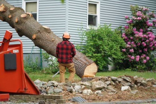 Certified arborist watching a tree as it falls during removal service.