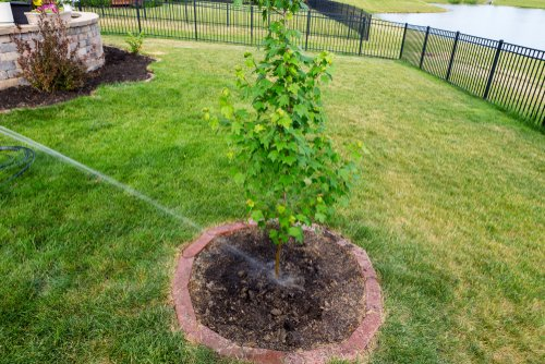 newly planted tree in yard