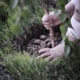 planting a tree in soil