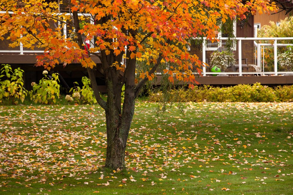 fall leaves on tree and on lawn