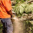 man prepares to cut down tree