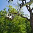 arborist working up in a tree