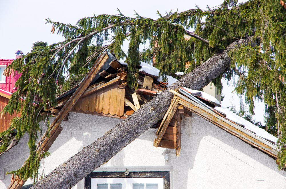 Tree fallen on damaged roof needs emergency removal.