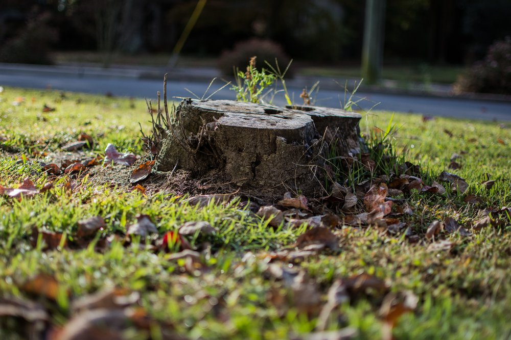 tree stump with new growth