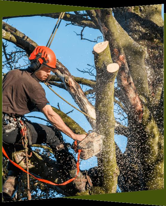 Arborist removing a tree in Ottawa.