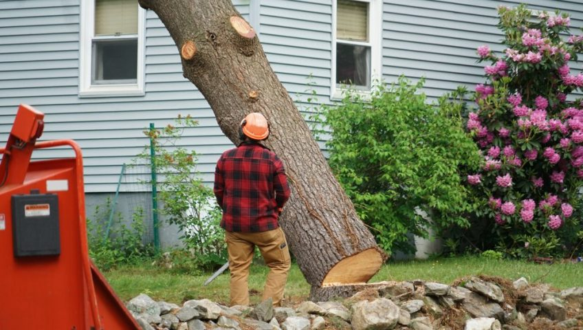 Arborist watches tree as it falls during tree removal service.