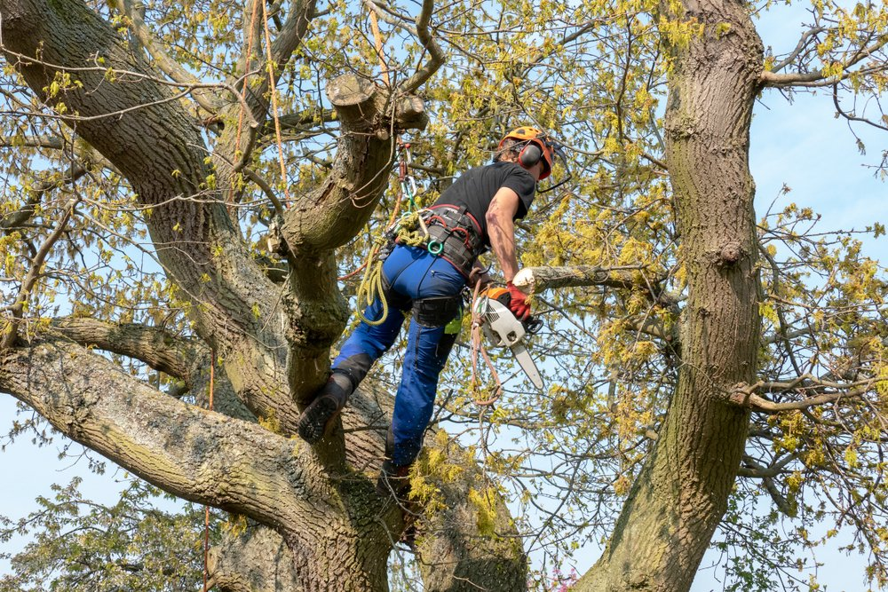 worker pruning a tree