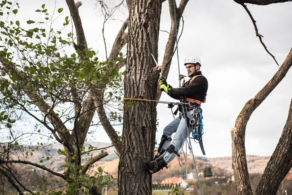 arborist caring for tree