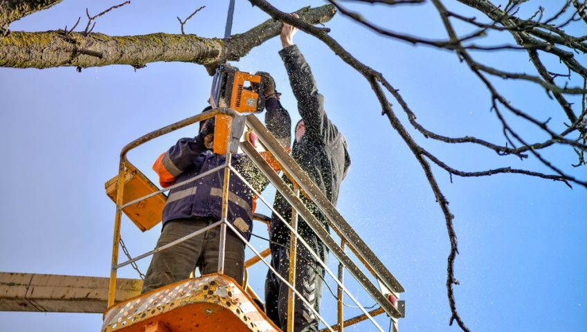 Two arborists pruning a tree.