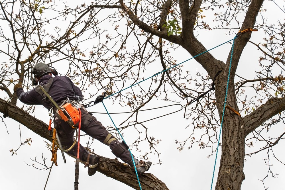 arborist caring for tree