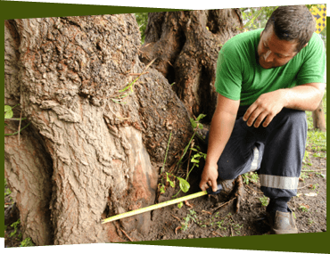 Arborist measuring roots on a tree in Ottawa.