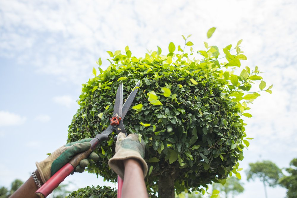 landscaping expert trimming a hedge
