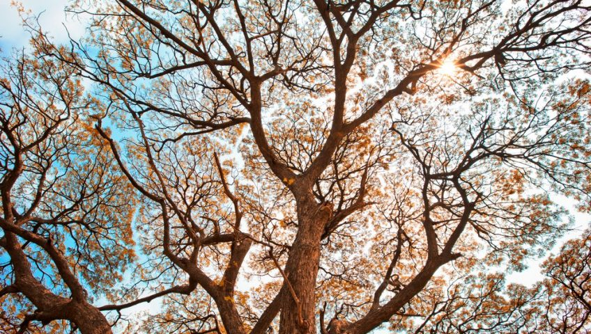 Looking up at a tree canopy during autumn.