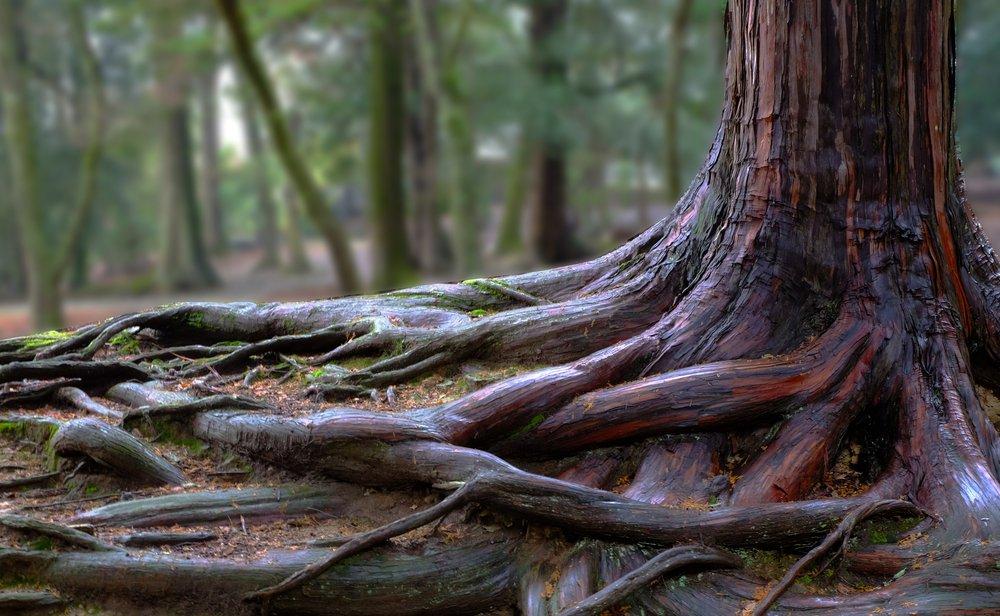 tree roots in ottawa yard