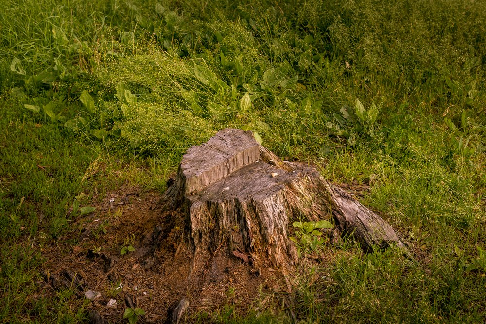tree stump in ottawa yard