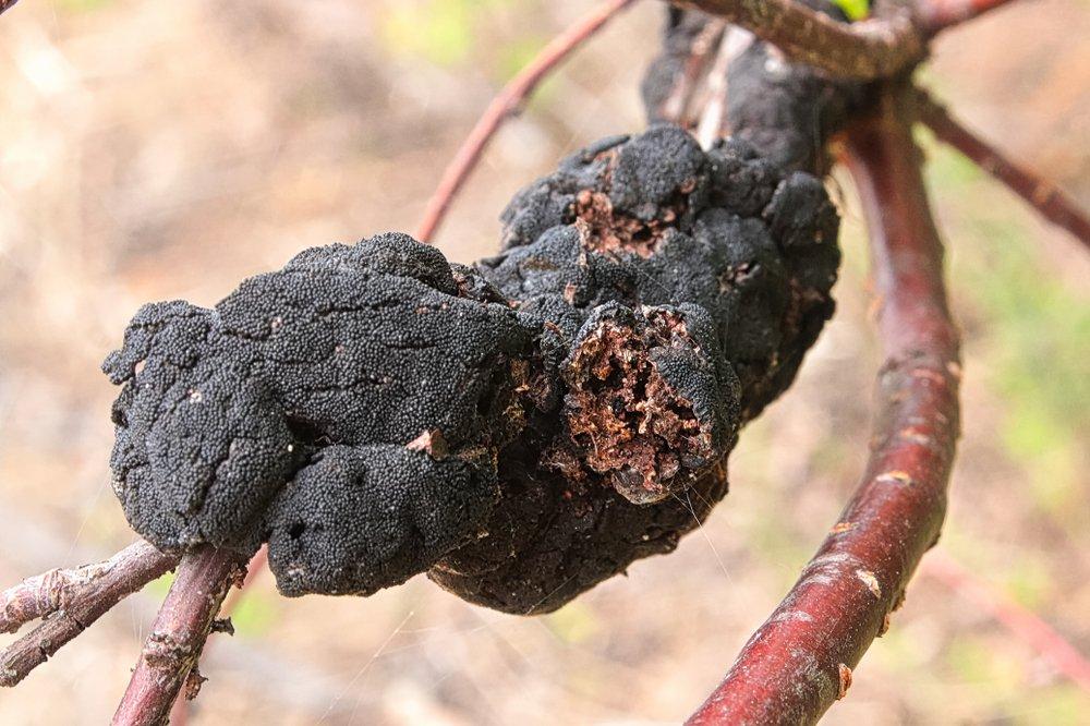 black knot fungus on a tree