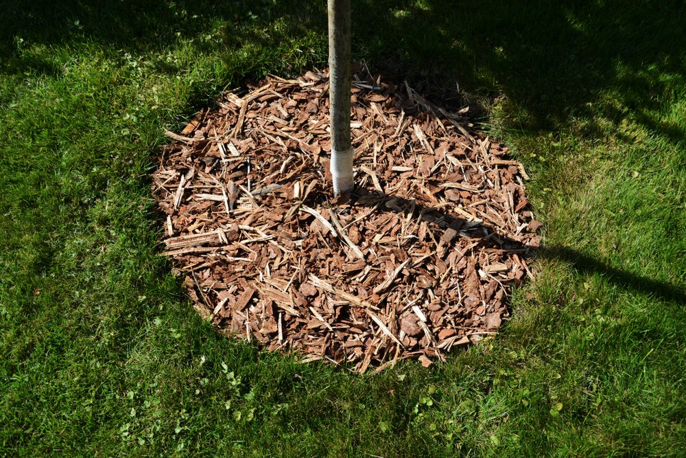 tree with mulch around the base