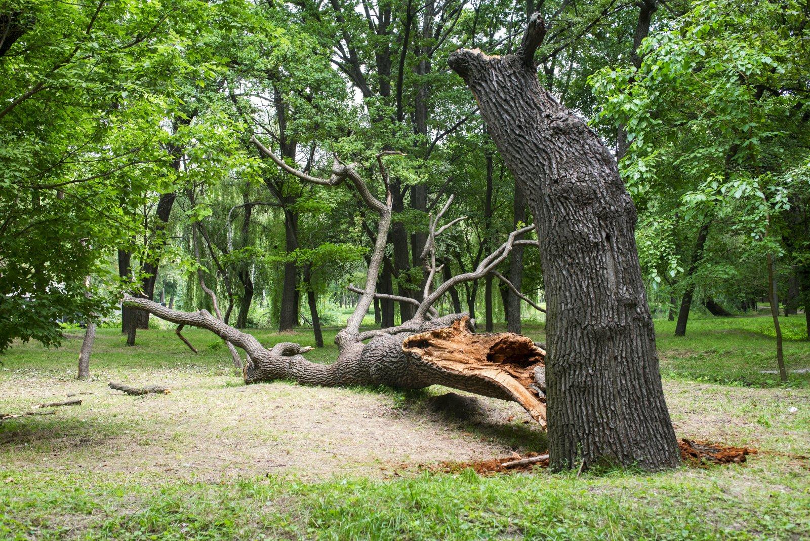 dead tree split from storm
