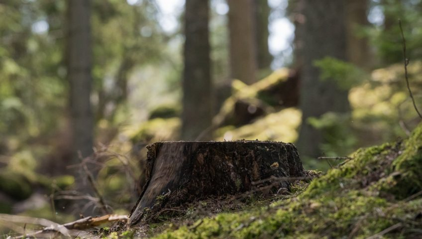tree stump in forest