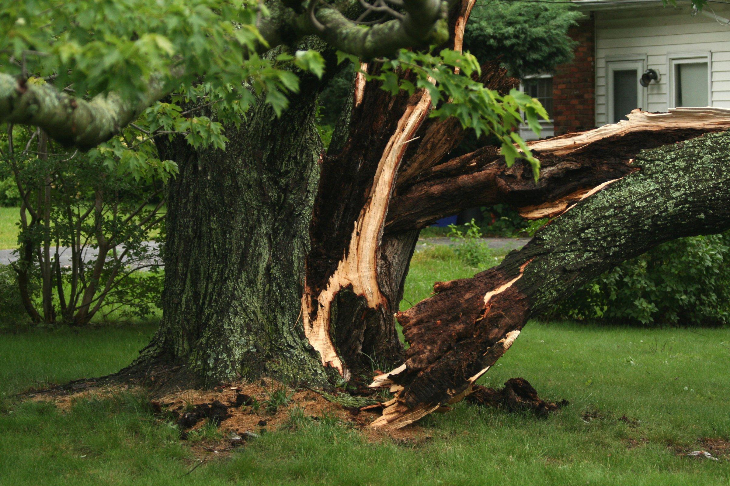 weather damaged tree11